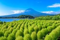 山梨県 大石公園 コキアと富士山