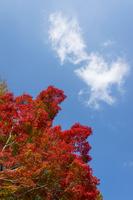 真っ赤なモミジと雲が湧く青空
