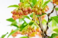 ツツジの花 サラサドウダン