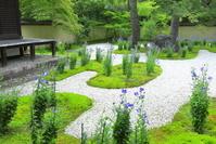 京都府 キキョウの咲く廬山寺
