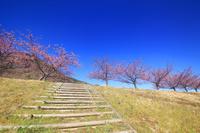 静岡県 伊豆の国市 狩野川堤防の河津桜の桜並木と木の階段と城山