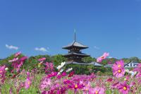 奈良県 コスモス咲く法起寺三重塔