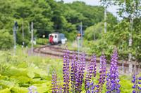 北海道 ルピナスと鉄道
