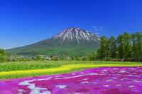 北海道 羊蹄山と芝桜