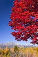 長野県 乗鞍高原の大楓