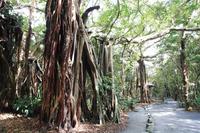 鹿児島県 志戸子ガジュマル公園のガジュマル