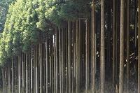 京都府 周山街道の北山杉