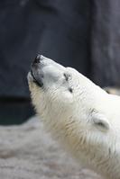 ホッキョクグマ 旭山動物園