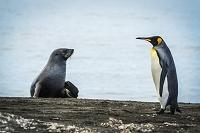 向かい合うナンキョクオットセイとオウサマペンギン