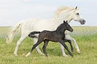 草原で走るコネマラ種馬の親子