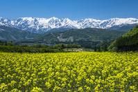 長野県 菜の花畑と白馬三山