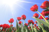 チューリップの花畑と青空