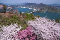 愛媛県 カレイ山展望公園の桜と伯方島