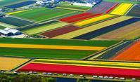 オランダ カラフルな花畑と観光客の車