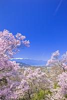 長野県 高遠城址公園 高遠小彼岸桜と中央アルプス