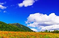 北海道 マリーゴールド咲く丘と尻別岳