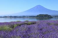山梨県 河口湖 富士山とラベンダー畑