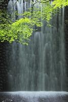 新緑のモミジと水の流れ 滋賀県