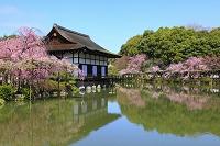 京都府 平安神宮 泰平閣から見る神苑の桜と栖鳳池の尚美館