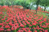 埼玉県 深山の花園 ヒガンバナ