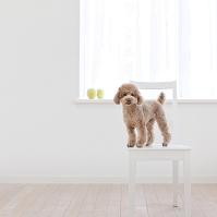 椅子に立つトイプードル 犬