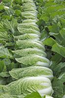 収穫された白菜