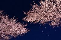 夜桜と花弁