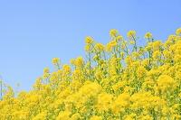 花 ナノハナと青空