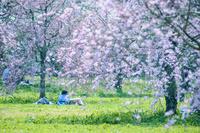 咲き誇る桜の下で寝そべるカップル