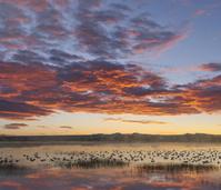 アメリカ ニューメキシコ州 ハクガンの群れ