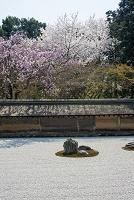 京都府 桜咲く龍安寺石庭