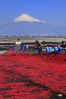 静岡県 富士川河口 富士山と天日干し桜えびの回収作業