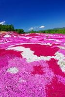 北海道 芝桜の丘