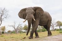 ボツワナ モレミ野生動物保護区 アフリカゾウ