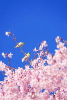 長野県 上田市 桜(サツマベニ)とメジロのペア