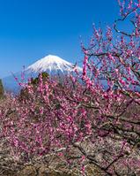 静岡県 岩本山公園の梅と富士山