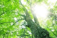 山梨県 新緑の大室山ブナ林