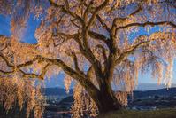 山梨県 乙ヶ妻の一本桜