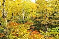 群馬県片品村 尾瀬 原生林の紅葉