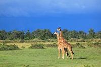 アフリカ マサイマラ国立保護区 キリン