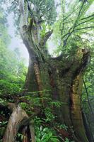 福岡県 若杉山 大和の森 ジャレ杉