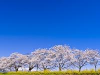 宮城県 白石川堤一目千本桜