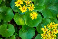愛知県 ツワブキの花