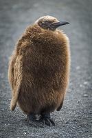 オウサマペンギンの子供