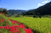 奈良県 明日香村 彼岸花と棚田