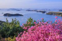 岡山県 ミツバツツジ咲く鷲羽山より瀬戸内海 松島と瀬戸大橋朝景