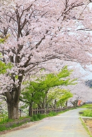 静岡県 桜並木と道