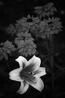 ユリの花 モノクロ