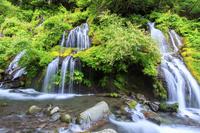 山梨県 オタカラコウ咲く吐竜の滝 新緑