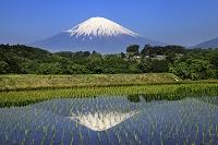 富士山と逆さ富士映る田んぼ